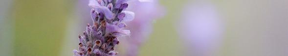 """ALT""""Lavendel"""""""